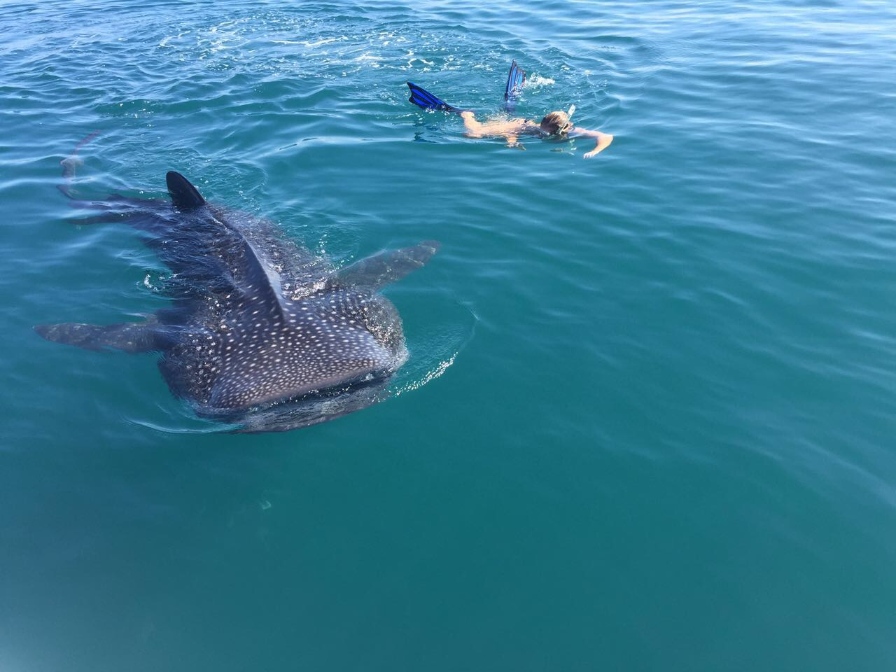 back the whale sharks all roads lead to roam it felt like the good ol times darren situated on the bow of the boat looking out for sharks manolo behind the wheel captaining and the volunteers jotting